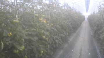 これからトマト