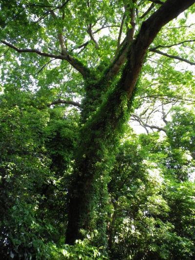 縮小400みどりの木