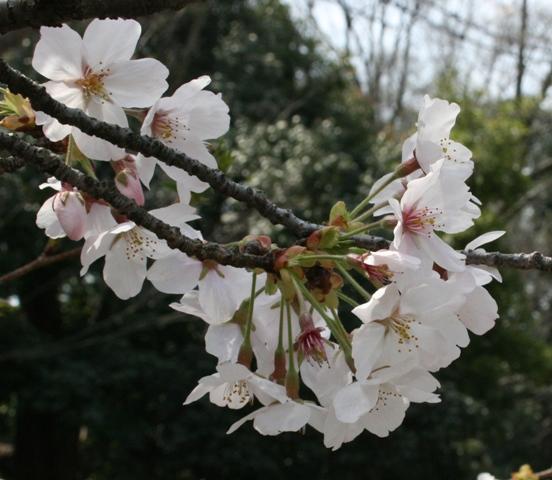 IMG_3991 桜 W