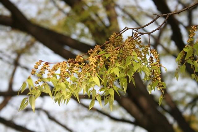IMG_3955 欅の花 W