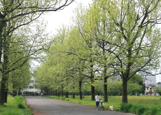 IMG_4307 ユリノキ並木の新緑 W