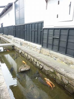 瀬戸川と鯉