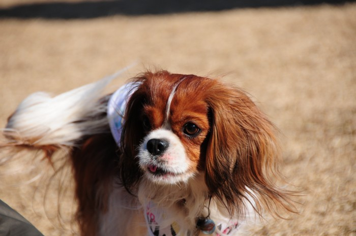 MIX犬ーミヨリちゃん。