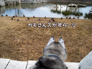 お池にはカモさんがいっぱい