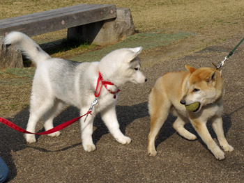 柴犬とふじ子ちゃん