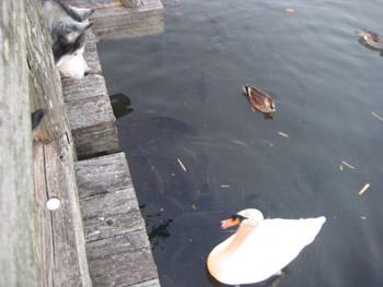 トリュフと白鳥