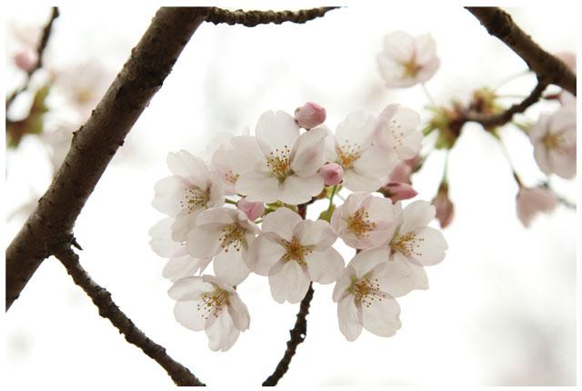 出会いの森 桜