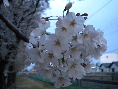 桜もっさり