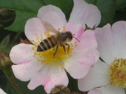 バラとミツバチ