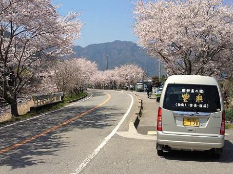 こっとん亭桜