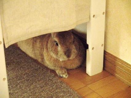 ウサギ ちょび♂