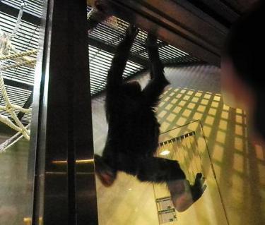 いしかわ動物園 チンパンジー イチゴ