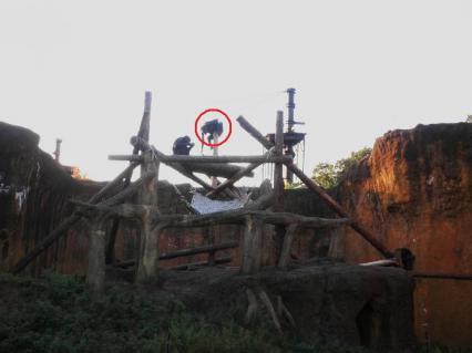 いしかわ動物園 チンパンジーの丘