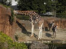 いしかわ動物園 アミメキリン グレビーシマウマ