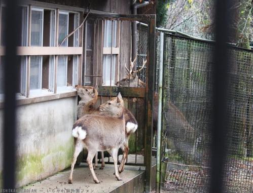 富山市ファミリーパーク ニホンジカ