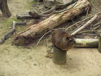 いしかわ動物園 シセンレッサーパンダ