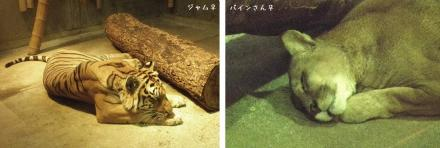 いしかわ動物園 ベンガルトラ ピューマ