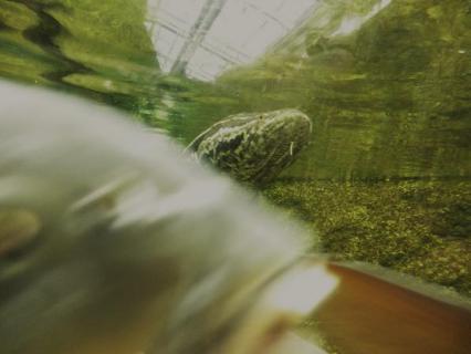 いしかわ動物園 カムルチー(雷魚)