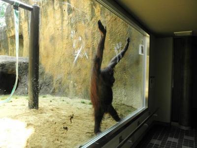 いしかわ動物園 ボルネオオランウータン