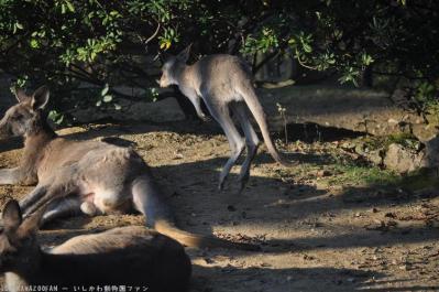 オオカンガルー