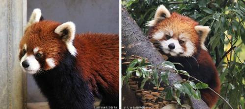 富山市ファミリーパーク シセンレッサーパンダ