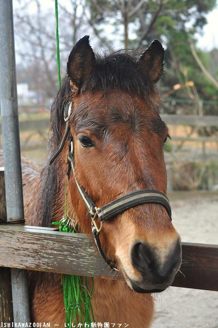 富山市ファミリーパーク 木曽馬