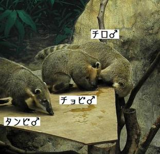 いしかわ動物園 アカハナグマ