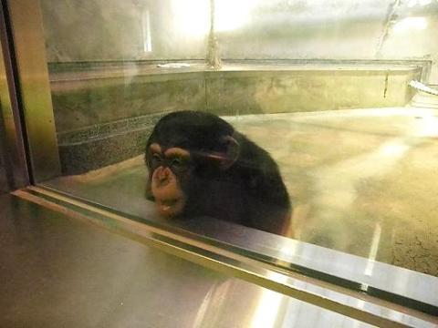 いしかわ動物園 チンパンジー