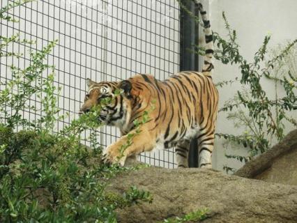 いしかわ動物園 ベンガルトラ