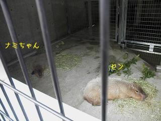 いしかわ動物園 カピバラ