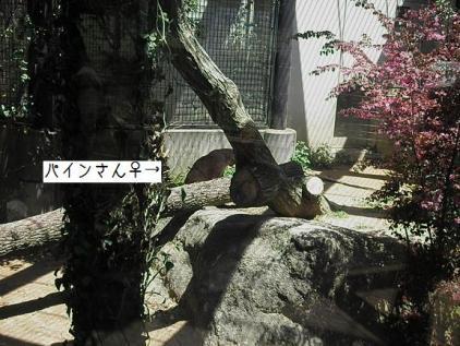 いしかわ動物園 ピューマ