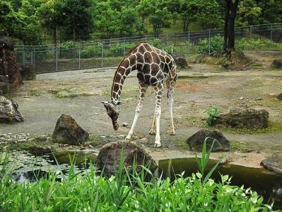 いしかわ動物園 アミメキリン