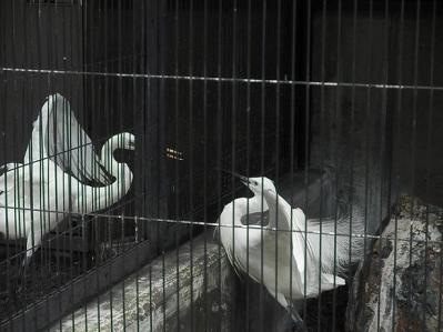 いしかわ動物園 ダイサギ コサギ