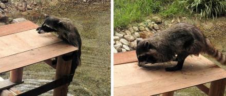 いしかわ動物園 アライグマ