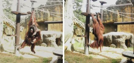 いしかわ動物園 オランウータン