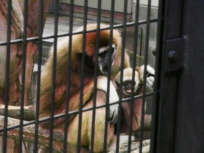 いしかわ動物園 シロテテナガザル