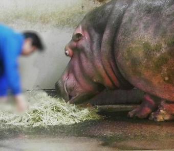 いしかわ動物園 カバ