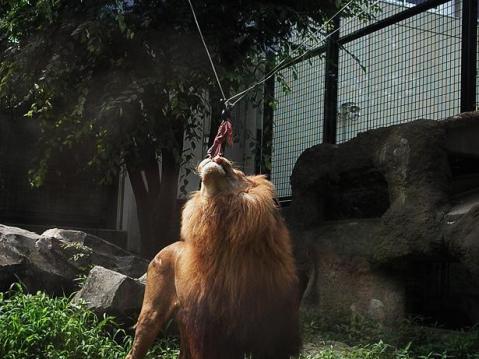 いしかわ動物園 ライオン