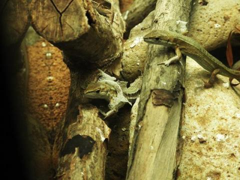 いしかわ動物園 ニホンカナヘビ