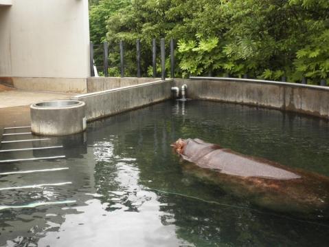いしかわ動物園 カバ デカ
