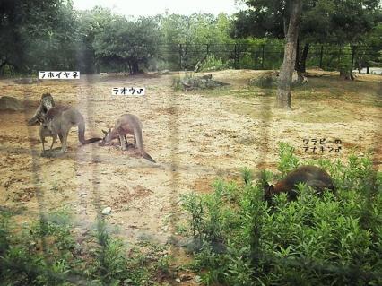 いしかわ動物園 アカクビワラビー オオカンガルー