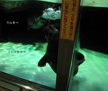 いしかわ動物園 バイカルアザラシ