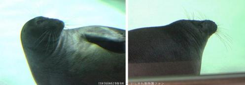 バイカルアザラシ
