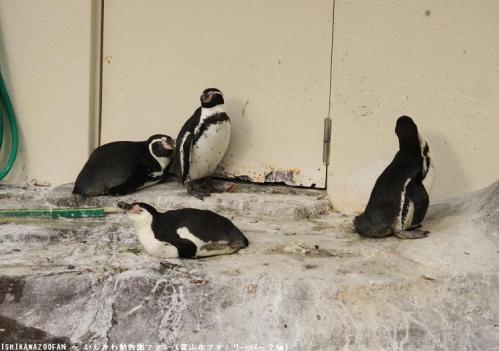 富山市ファミリーパーク フンボルトペンギン