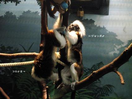 いしかわ動物園 ワタボウシタマリン