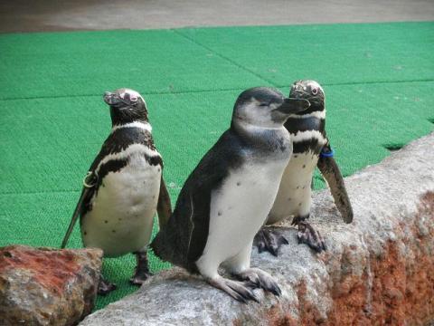 いしかわ動物園 マゼランペンギン