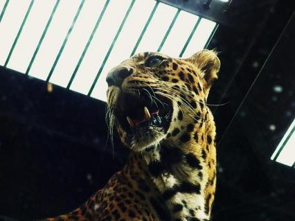 いしかわ動物園 ヒョウ