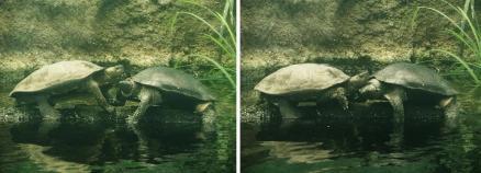 いしかわ動物園 クサガメ