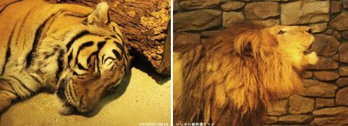 ベンガルトラ   ライオン