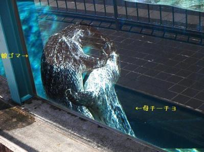 いしかわ動物園 ゴマフアザラシ